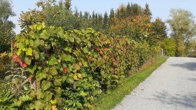 Meie Viinamäe kinnistu aiaserv. Esiplaanil 'Voo' saagikaim taim.