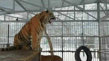 ВИДЕО   Поющий тигренок прославился в соцсетях