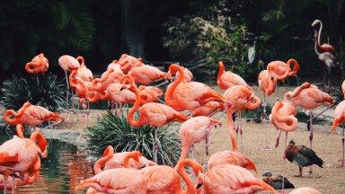 Flamingod