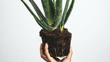 Три лучших комнатных растения от насморка