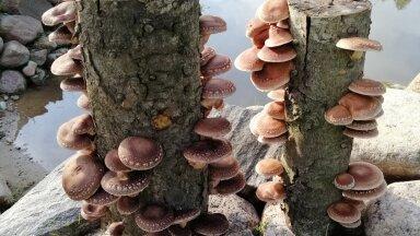 Eelmisel aastal kasvanud šiitaked hobukastani pakkudel. Kumbki pakk kasvatas ligi pool kilo seeni.