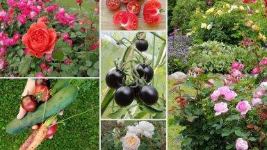 AIAHOOLIKU BLOGI   Kummaline tõbi, tomativaheraport ja rõõm südasuvistest õitsejatest