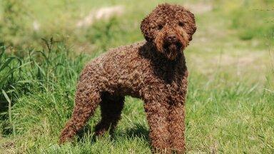 Mille poolest paistab silma Itaalia päritolu koeratõug lagotto romagnolo?