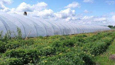 Rehemäe talus on ligi saja meetri pikkune taimede kasvatamise tunnel.