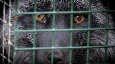 Euroopa Parlament toetab loomatööstuses puuride kasutamise lõpetamist