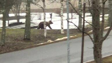ВИДЕО | Медведь бегает по поселку в Ида-Вирумаа — будьте осторожны!