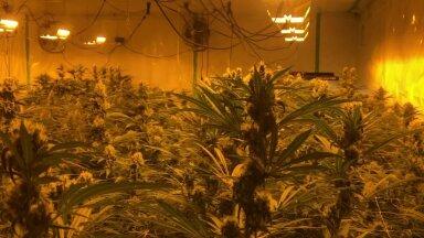 ФОТО и ВИДЕО | В Пярнумаа обнаружили наибольшую плантацию конопли за последние годы. Полиция конфисковала растения