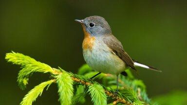 Väike-kärbsenäpp eelistab elupaigana vanemaid metsi, mis sageli on määratletud mõne vääriselupaigana.