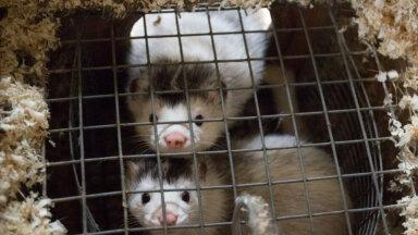 Uuring: karusloomafarmide keelustamist pooldab rohkem Eesti inimesi kui kunagi varem
