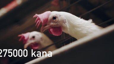 Eesti suurima munatootja kanad annavad aastas enam kui 85 miljonit muna