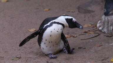 LÕBUS VIDEO   Pingviinid takistavad telesaate valmimist