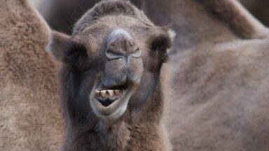 Kevili sööt on hinnatud loomadele, kes vajavad palju energiat – näiteks jõudlushobused, poeginud märad, lüpsilehmad, kaamelid jmt.