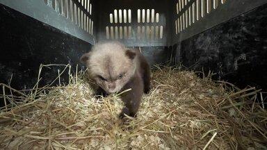 FOTOD ja VIDEO | Karupoja tee äärest üles korjanud jahimees: pakkusin, et võin looma ise üles kasvatada