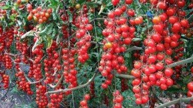 ВИДЕО | Эффективная подкормка помидоров. После нее томатов завяжется в 10 раз больше обычного!