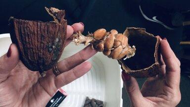 Mis paistab vastu kui avada kakaokäbi? Kas käbi on õige sõna? Pigem vist pähkel.