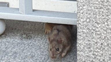 Lugeja VIDEO | Eesti Panga hoone ümbruses jooksevad ringi rotid