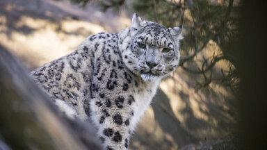 Korkeasaari loomaaia lumeleopard