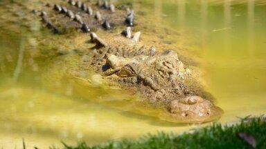 Пятиметровый крокодил запрыгнул в лодку с людьми и напал на мужчину