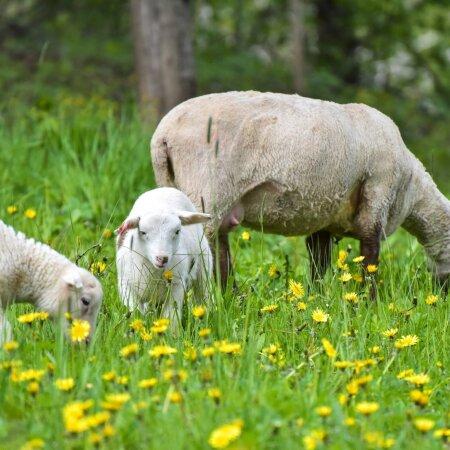 Ärkvel lambad