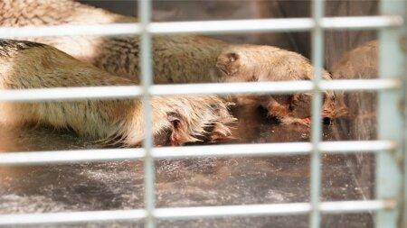 Päästetud hunt veterinaari juures