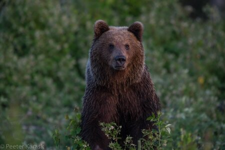 Karu, kellega hiljuti kohtus loodusfotograaf Peeter Karask