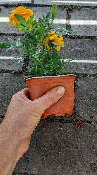 Pigistage õrnalt potti, nii saate taime sealt paremini kätte.