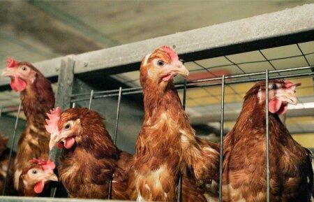 Puurikanad veedavad kogu oma elu puuris, kus iga kana jaoks on ruumi vähem kui üks A4