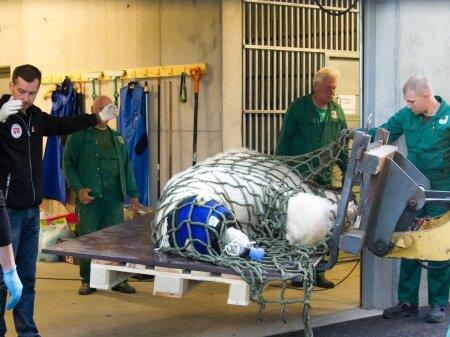 Jääkaru Nord uinutati uude polaariumisse viimiseks