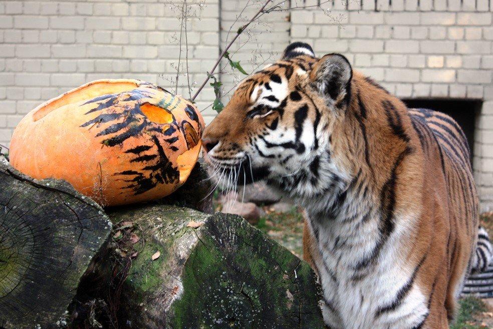 Tallinna loomaaed valmistub laupäevaseks kõrvitsapeoks, lahked inimesed on loomadele kinkinud üle 40 tonni aiasaaduseid