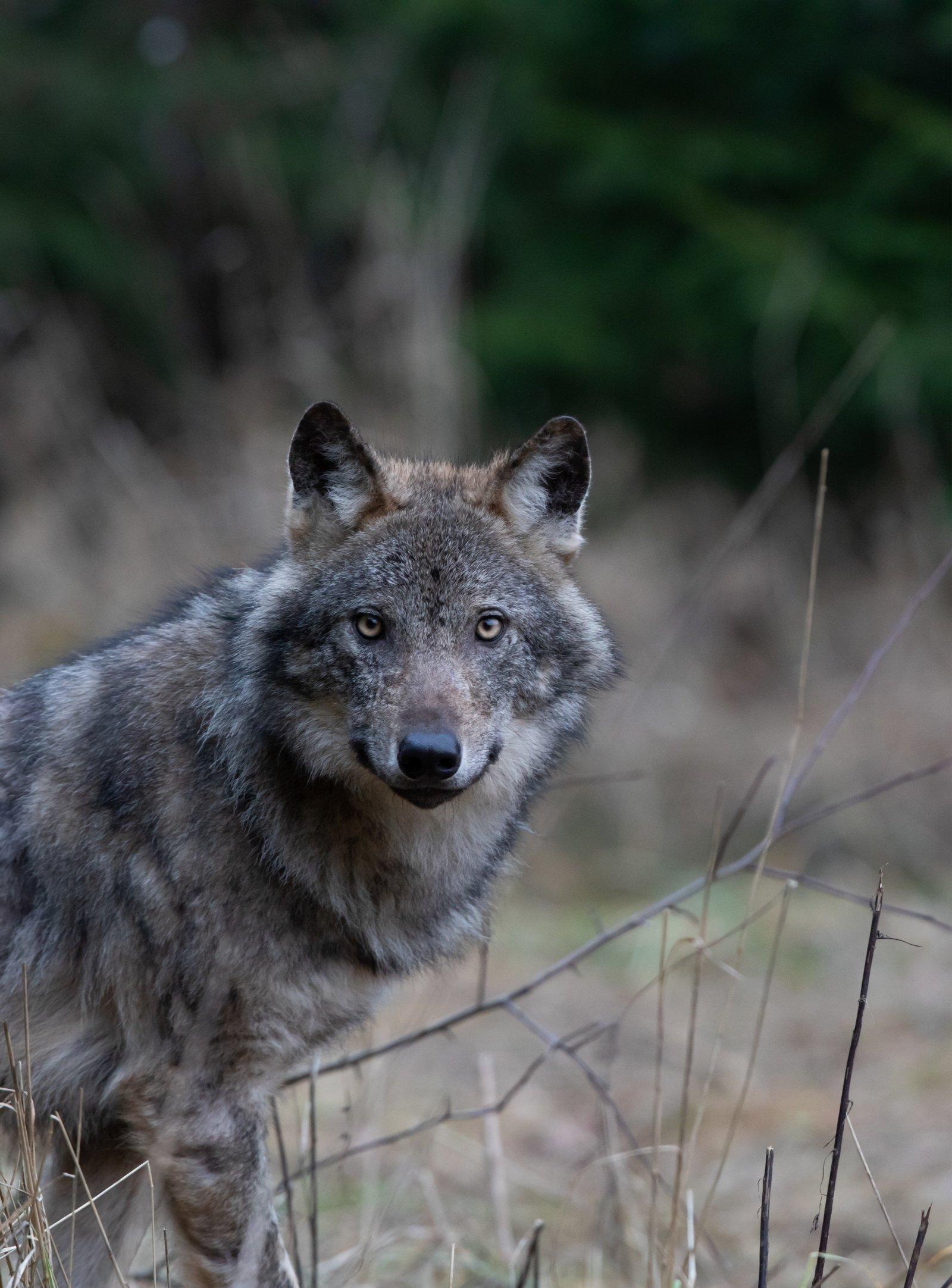INTERVJUU | Eleri Lopp-Valdma:  Eesti hunt vajab kaitset – jahimehed, ärge tapke tugevaid karjasid
