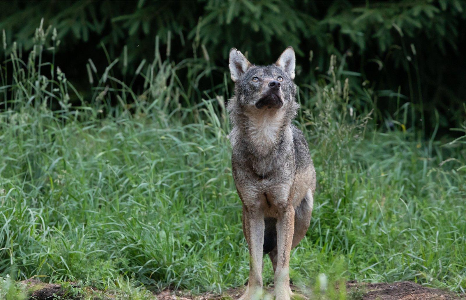 Keskkonnaamet kutsub üles mõistlikkusele huntide küttimisel:
